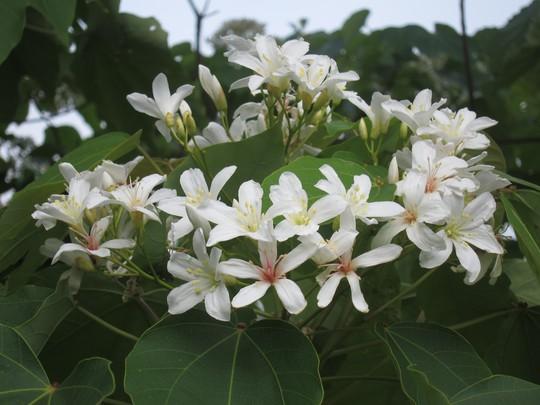 Hoa ban tím, hoa vông đỏ và hoa trẩu trắng bung nở khắp trời Hà Giang trong tháng 4