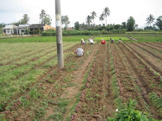 Nông dân Vĩnh Châu vẫn đổ xô trồng hành tím