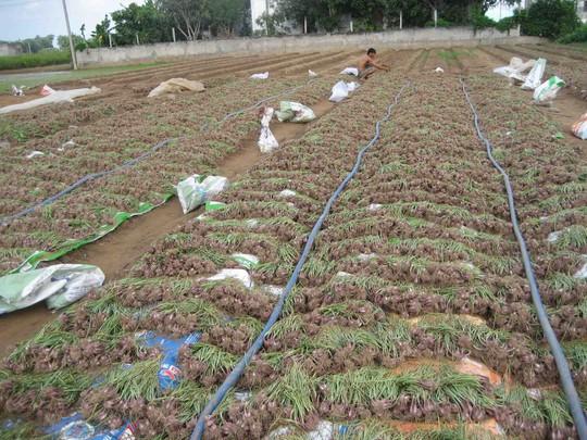 Nông dân Vĩnh Châu đang tất bật thu hoạch hành giống để cung cấp cho vụ hành thương phẩm chuẩn bị xuống giống