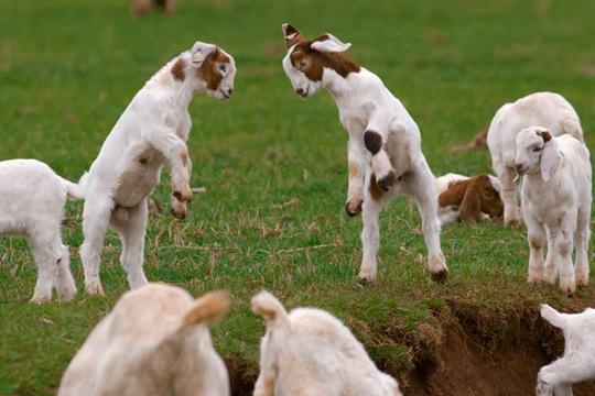 http://4.bp.blogspot.com/-cFtxiK0Zq4g/Up9RpYrgOjI/AAAAAAAAG9U/zlXwrikPoBA/s1600/Funny+Baby+Goats_3.jpg