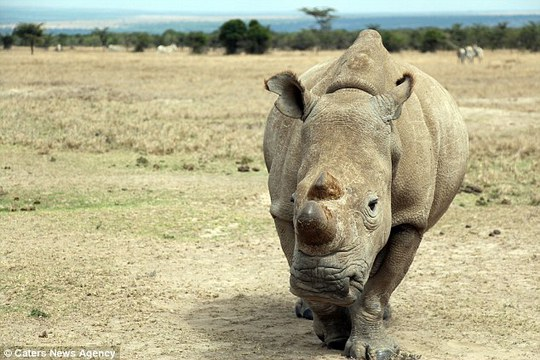 Extreme measures: Rangers have even cut off the rhinos horn - but they fear it wont be enough