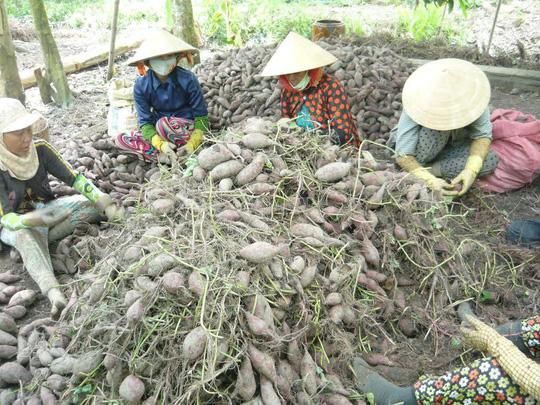 Khoai tím Nhật ở Vĩnh Long nổi tiếng khắp cả nước