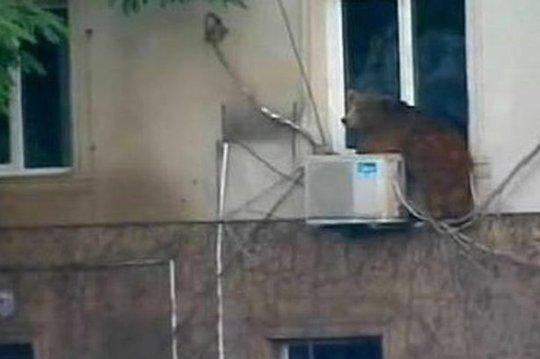 Một chú gấu sổng chuồng. Ảnh: Mirror