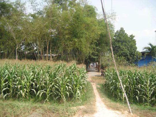 Một lối nhỏ nằm giữa ruộng bắp dẫn vào Khu vườn kỳ lạ