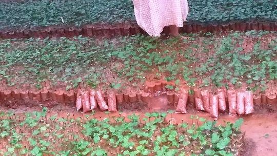 Vườn ươm cây giống cà phê nhà chị Nguyễn Thị Hảo đã bị hư hỏng nặng