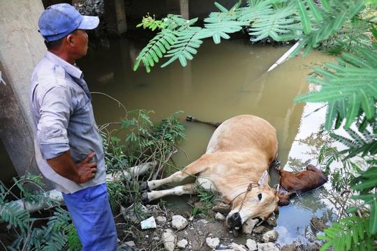 Hai con bò của ông Phúc nằm chết dưới suối ảnh: CTV