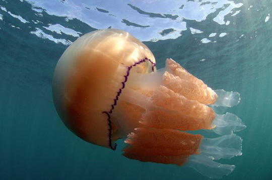 Bức ảnh đáng ngạc nhiên về loài sứa khổng lồ ở Anh