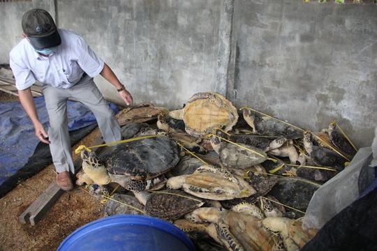 Hàng tấn rùa biển tàng trữ, buôn bán trái phép