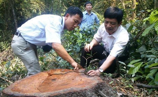 Một cây lim xanh vừa bị đốn hạ tại Khu Bảo tồn thiên nhiên rừng sến Tam Quy