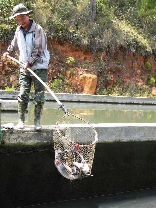 Thu hoạch cá nước lạnh ở tỉnh Lâm Đồng