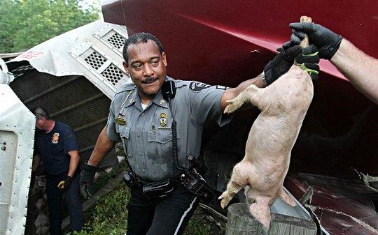 Cảnh sát bắt được một con heo. Ảnh: The Dayton Daily News