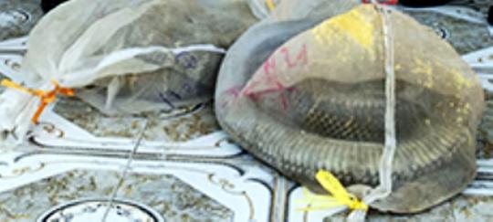 4 cá thể rắn Hổ mang chúa