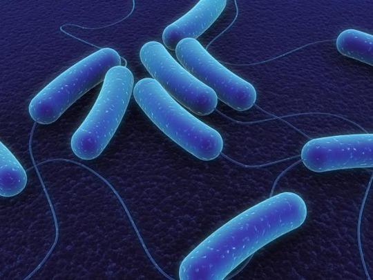 Mức độ gien Obg cao bảo vệ vi khuẩn E. coli trước thuốc kháng sinh Ảnh: MNT