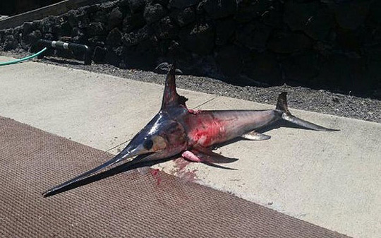 Con cá kiếm bị thương. Ảnh: Telegraph