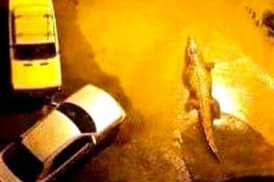Cá sấu bơi ngoài đường. Ảnh: Mirror