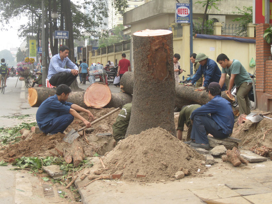 Nhiều cây xanh trên đường Nguyễn Chí Thanh bị đốn hạ theo đề án. Ảnh: NGUYỄN HƯỞNG