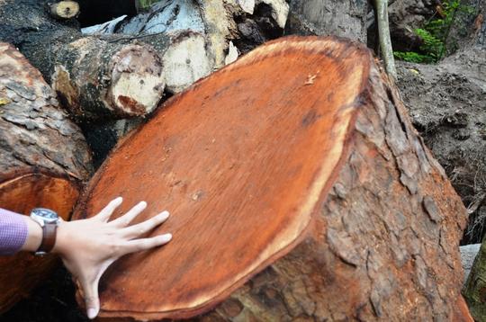 Nơi tập kết gỗ tại phường Cầu Diễn, quận Bắc Từ Liêm, TP Hà NộiẢnh: NGUYỄN HƯỞNG
