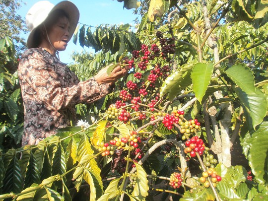 Dù cà phê được mùa, nông dân vẫn luôn lo lắng vì giá cả lên xuống bấp bênh Ảnh: Cao Nguyên