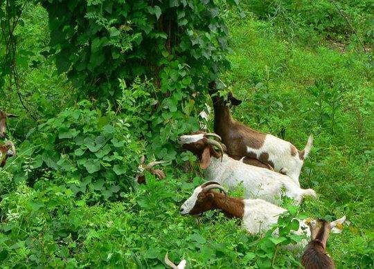 Những chú dê ăn cây xâm thực một cách thích thú. Ảnh: BBC