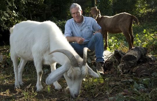 Ông Brian Knox cùng đàn dê của mình. Ảnh: BBC
