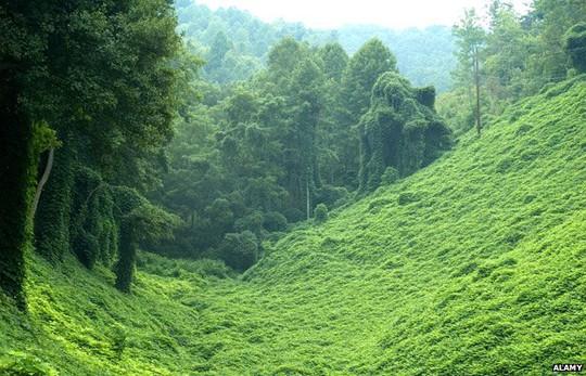 Dê có thể ăn cây xâm lấn ở những khu vực có độ dốc cao và rừng rậm mà máy móc không thể làm được. Ảnh: Alamy