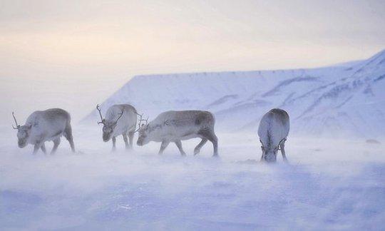 Tuần lộc ăn cỏ trên chuỗi đảo Svalbard. Ảnh: PA