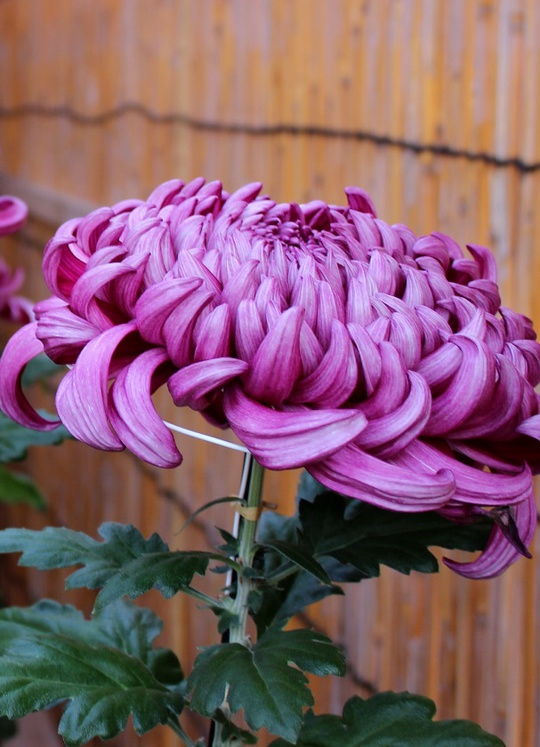 Lễ hội quy tụ khoảng 300 loại hoa cúc đủ hình dạng, màu sắc và kích thước, từ những bông cúc nhỏ xinh đến những hoa có đường kính lên tới 20 cm.