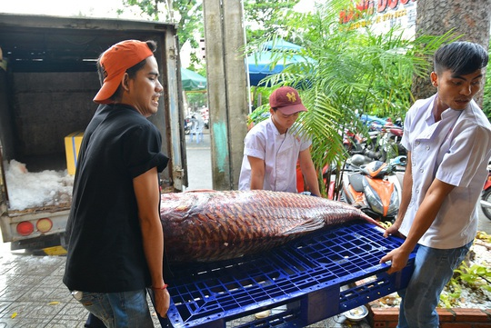 Cá hô có trọng lượng 110Kg, dài 1,7m
