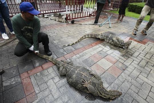 Những con bị bắt sẽ được chuyển đến khu bảo tồn thiên nhân ở tỉnh Ratchaburi. Ảnh: Bangkok Post
