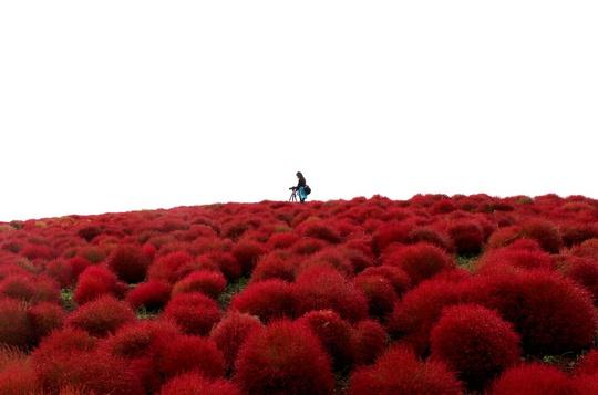 """Vào tháng 6, người ta bắt đầu trồng những bụi kochia. Khi làn gió thu """"chạm"""" nhẹ, kochia bắt đầu chuyển mình từ xanh sang hồng, rồi đỏ hẳn."""