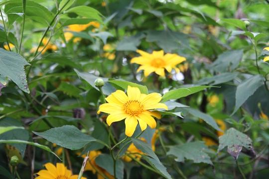 Dã quỳ là loài hoa dại, có hương thơm dịu nhẹ, cánh hoa mềm mại, nhưng đủ sức làm lay động, quyến rũ bất cứ ai.