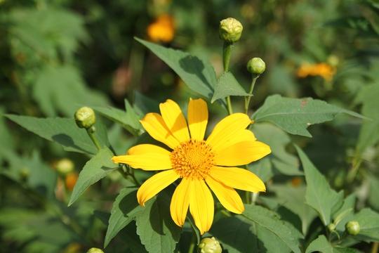 Sắc vàng dã quỳ làm lay động bao trái tim yêu hoa, quyến rũ cả loài ong, loài bướm.
