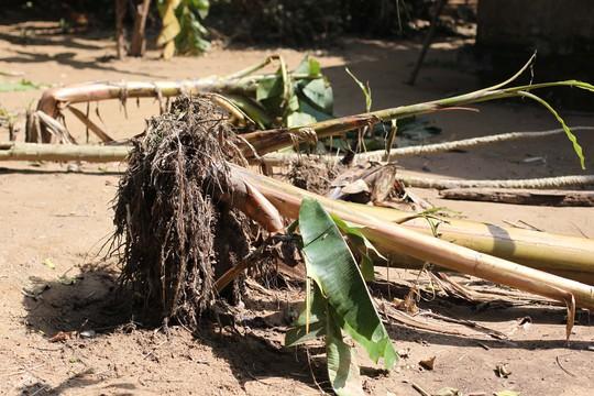 Phía sau nhà, vẫn còn dấu vết cây cối ngã do lũ gây ra