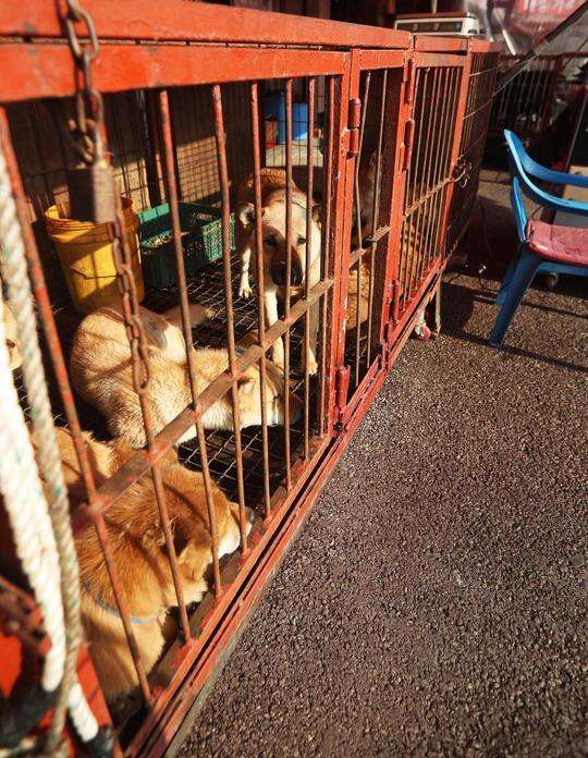 Những con chó bị nhốt trong lồng tại chợ Moran. Ảnh: Yonhap