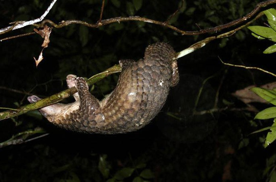 Cá thể tê tê nhanh chóng thích nghi khi được thả về tự nhiên