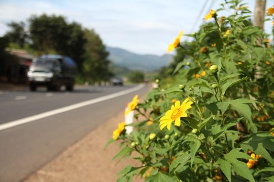 Hoa dã quỳ có mặt khắp các nẻo đường ở Lâm Đồng mỗi độ đông sang.