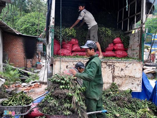 Xe tải thu gom cau buồng từ các bản làng huyện vùng cao Sơn Tây đưa về lò hấp sơ chế để đưa đi xuất khẩu.