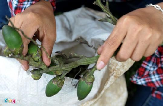 Cau non được người dân huyện Sơn Tây hái quả cho vào bao bán cho thương lái.