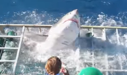 Thót tim cảnh cá mập trắng lao vào lồng sắt của thợ lặn