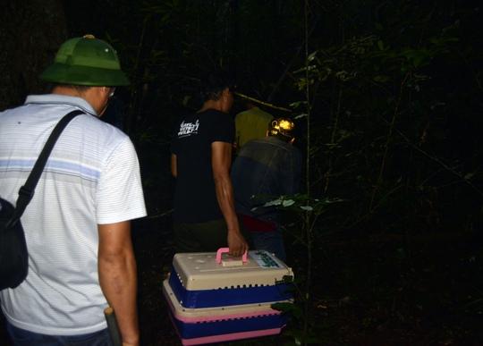 Việc tái thả diễn ra vào ban đêm phù hợp với tập tính của loài tê tê cũng như tránh khỏi tầm ngắm của những tay săn trộm. Ảnh: SVW cung cấp.