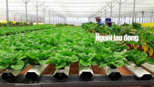 Do được trồng cách ly hoàn toàn với mặt đất và môi trường bên ngoài nên rau thủy canh hầu như không bị bệnh, nhà vườn không phải dùng các loại thuốc hóa học để phòng trừ sâu bệnh.