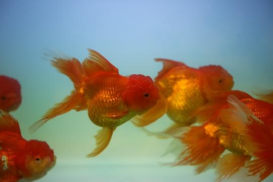 Cá ba đuôi hay còn gọi là cá vàng được nuôi rất phổ biến tại Việt Nam