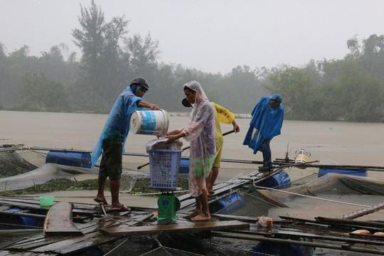 Ông Ung Tấn Lịch dầm mưa vớt cá bán tháo cho thương lái với giá rẻ Ảnh: TRẦN THƯỜNG