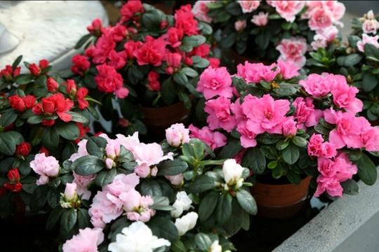 5 loại hoa chịu lạnh tốt để ban công rực rỡ khi đông về