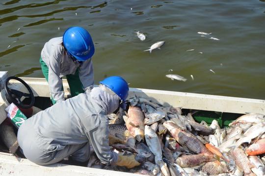 Đáng chú ý, hôm nay có nhiều loại cá chết to hơn 2 ngày trước