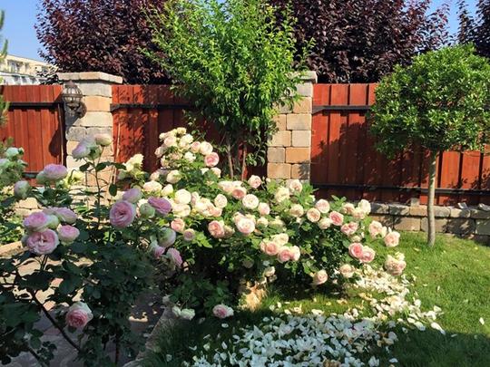 Vườn hồng cổ tích của mẹ Việt
