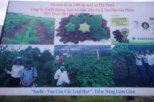 Công ty Hoàng Ninh Xứ Nghệ quảng bá hình ảnh trồng 1.000 ha sachi trên địa bàn huyện Phú Thiện, tỉnh Gia Lai