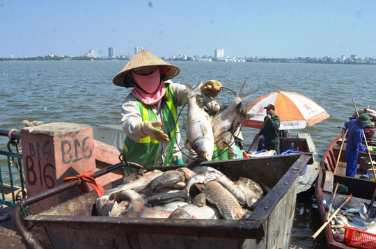 Thu gom cá chết trên hồ Tây vào ngày 4-10