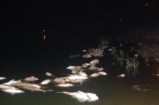 Cá hồ Linh Đàm bất ngờ chết hàng loạt