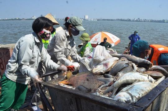 Trước đó, công nhân viên môi trường đều dùng xe rác chở cá chết hồ Tây